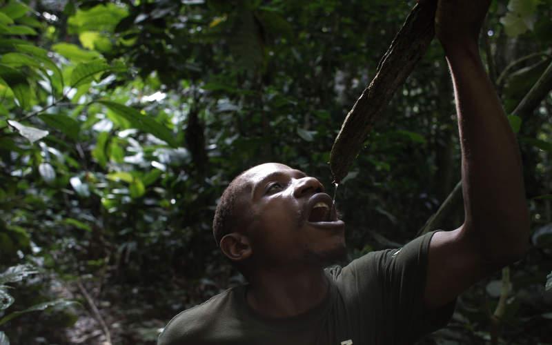 Pigmeo baka bebiendo agua filtrada por las ramas de los árboles